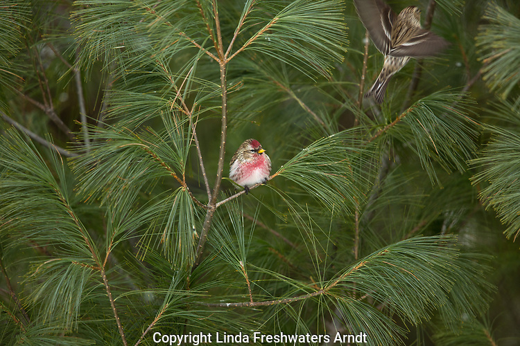 Common redpoll perched in a white pine tree in northern Wisconsin.