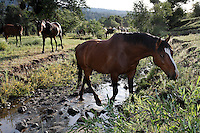"Mustangs live a good life on the Wild Horse Sanctuary in northern California. <br /> Dianne Nelson has saved mustangs on a ranch in northern California at the Wild Horse Sanctuary.  ""It was in 1978 that the Wild Horse Sanctuary founders rounded up almost 300 wild horses for the Forest Service in Modoc County, California. Of those 300, 80 were found to be un-adoptable and were scheduled to be destroyed at a government holding facility near Tule Lake, California. The Sanctuary is located near Shingletown, California on 5,000 acres of lush lava rock-strewn mountain meadow and forest land. Black Butte is to the west and towering Mt. Lassen is to the east. ..Their goals:.Increase public awareness of the genetic, biological, and social value of America's wild horses through pack trips on the sanctuary, publications, mass media, and public outreach programs..Continue to develop a working, replicable model for the proper and responsible management of wild horses in their natural habitat..Demonstrate that wild horses can co-exist on the open range in ecological balance with many diverse species of wildlife, including black bear, bobcat, mountain lion, wild turkeys, badger, and gray fox..Collaborate with research projects in order to document the intricate and unique social structure, biology, reversible fertility control, and native intelligence of the wild horse."