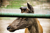 A Pere David's Deer with cut antlers stands in a pen in the Qingdao Zoo in Qingdao, Shandong, China.  Pere David's Deer has existed only in captivity since the late 1800s.  The antlers from the species are used in Traditional Chinese Medicine.