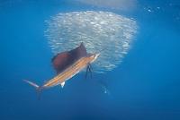 Sailfish, Istiophorus platypterus, off Isla Mujeres, Mexico, Gulf of Mexico.