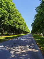 Linden der Herrenhäuser Allee, Hannover, Niedersachsen, Deutschland, Europa<br /> lime tree of HerrenhäuserAllee, Hanover, Lower Saxony, Germany, Europe