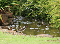 An elegant lapwing standing calmly near the bank of a beautiful quiet water stream