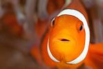 Super macro image of a Clown fish at Keramas Islands Okinawa, Japan.