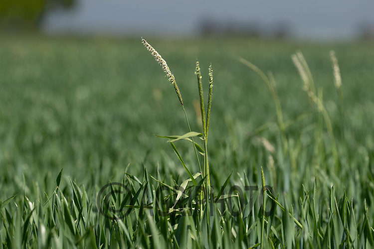 2-6-2021 Black-grass <br /> ©Tim Scrivener Photographer 07850 303986<br />      ....Covering Agriculture In The UK....