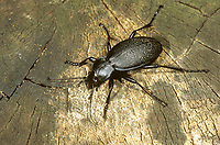 Lederlaufkäfer, Leder-Laufkäfer, Lederkäfer, Carabus coriaceus, leatherback ground beetle, leather beetle