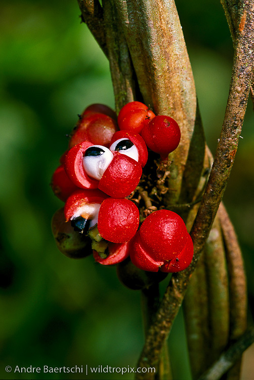 Brightly colored liana fruits (Paullinia sp., Sapindaceae) in lowland tropical rainforest, Tambopata National Reserve, Madre de Dios, Peru.