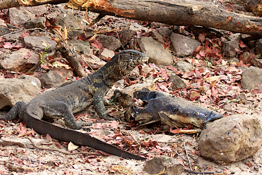 Nile Monitor with Prey on the banks of the Chobe River, Botswana