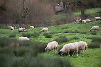 21.11.2020 Ewes grazing wet ground<br /> ©Tim Scrivener Photographer 07850 303986<br />      ....Covering Agriculture In The UK....