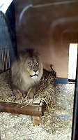 COPY BY TOM BEDFORD<br /> Pictured: The lion enclosure in the Animalarium in Borth near Aberystwyth, Wales, UK<br /> Re: Dyfed-Powys Police has today been made aware that sometime over the last five days a female lynx has escaped from the Animalarium in Borth. Police are therefore advising public in the area to be alert and vigilant.<br /> The lynx is unlikely to approach people, but may attempt to take livestock or pets as food.<br /> We do however advise that the animal should not be approached as it could become aggressive if cornered. It is believed that the lynx remains in fairly close proximity to the Animalarium, but of course it could potentially go further afield.<br /> Any sightings should be reported by calling 101, or if the lynx is in the process of taking an animal, or appears caught or injured, then please call 999.