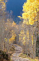 Late autumn aspens and trail (vertical), near Crystal, Colorado