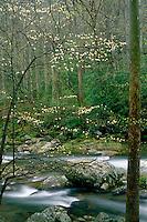 Flowering dogwood<br /> Big Creek Trail<br /> Great Smoky Mountains National Park<br /> North Carolina
