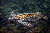 Green sea turtle in shallow water.. Hawaii, Island