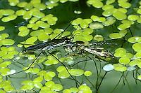 WE01-007z  Water Strider - with prey in fresh water pond