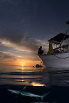 Split shot , silky shark at the surface. Sunset boat on water with man at sunset, shark below, sharks, Carcharhinus falciformis, Gardens of the Queen, Cuba