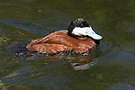 Ruddy Duck, male, Oyxura jamaicensis, swimming