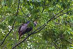 Tom turkey roosting in a northern Wisconsin oak tree.