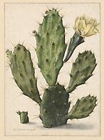 Flowering prickly pear cactus - by Herman Saftleven, 1683
