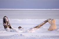 polar bear, Ursus maritimus, cub scavenging on a baleen whale bone, Balaena mysticetus, 1002 coastal plain of the Arctic National Wildlife Refuge, Alaska, polar bear, Ursus maritimus