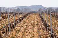 Domaine Le Nouveau Monde. Terrasses de Beziers. Languedoc. Vines trained in Cordon royat pruning. Terroir soil. In the vineyard. France. Europe. Lespignan Mountains in the background.