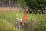 White-tailed buck leaping to safety in a flooded field in northern Wisconsin.