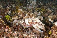 Golden cuttlefish, Sepia esculenta, Lembeh, Indonesia, Pacific Ocean