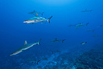 Fakarava Atoll, Tuamotu Archipelago, French Polynesia; numerous gray reef sharks swimming in the current along the edge of a coral reef wall, form a wall of sharks