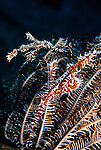 Milne Bay, Papua New Guinea; Ornate Ghost Pipefish (Solenostomus paradoxus), male/female pair, to 11 cm (4 ¼ in.), solitary, small groups or more commonly in male/female pairs, usually remain in restricted home range, live in coastal, lagoon and outer reefs in 4-35 meters, found in E. Africa to Indonesia, Philippines, Marshall Island in Micronesia, Solomon Islands, E. Australia and Fiji , Copyright © Matthew Meier, matthewmeierphoto.com All Rights Reserved
