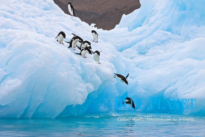 Adelie penguin, Pygoscelis adeliae, adults, diving into the ocean off iceberg, Antarctic Peninsula, Antarctica, Southern Ocean