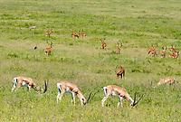 Grant's Gazelles, Nanger granti, Common Impalas, Aepyceros melampus melampus, and Central African Warthogs, Phacochoerus africanus massaicus, grazing in Lake Nakuru National Park, Kenya