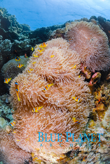gigantic sea anemones, Stichodactyla gigantea, twobands anemonefishes, Amphiprion bicinctus, coral reef, off coast of Safaga, Egypt, South, Red Sea