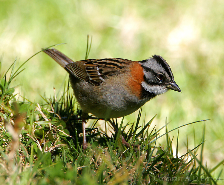 Male rufous-collared sparrow