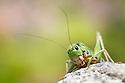 Wartbiter cricket {Decticus verrucivorus} female, Nordtirol, Tirol, Austrian Alps, Austria, August.