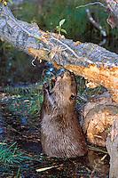Beaver eating bark off cottonwood tree it has fallen.  Fall. Western U.S.