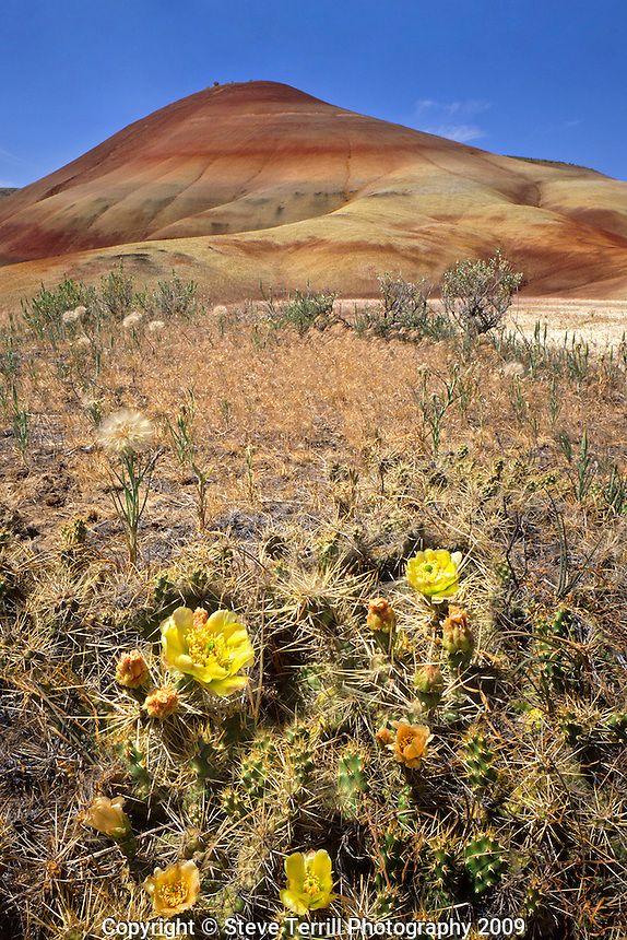 Prickly pear cactus on floor of the Painted Hills unit of John Day Fossil Beds National Monument in Wheeler County, Oregon