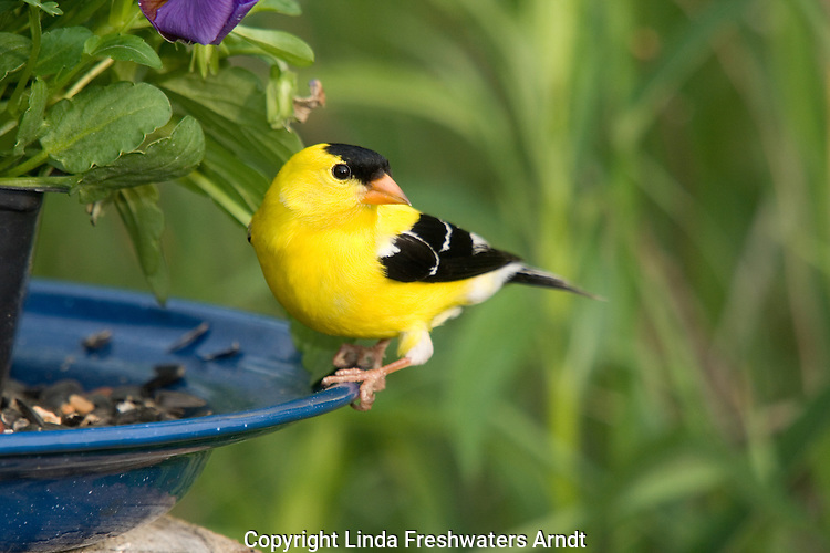 Male American goldfinch (Carduelis tristis) eating birdseed
