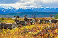 Barren ground caribou migrate over the autumn tundra in Denali National Park, Alaska