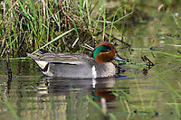 Green-winged Teal swimming on a pond