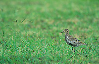 Pacific Golden Plover, Pluvialis fulva, adult, Kauai, Hawaii, USA, August 1997