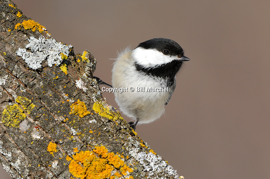 00175-011.10 Black-capped Chickadee (DIGITAL) is perched on a tree branch containing colorful lichens.  Bird, birding, feathers.  H3F1