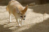 Fennec Fox (Vulpes zerda).  Smallest member of the fox family.  Found in North Africa..