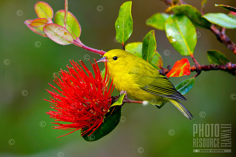 Anianiau (Hemignathus parvus)on red ohia flower Found only on Kauai and one of the smallest Hawaiian honeycreepers, it is found only in the Alakai swamp.  It feeds on insects and nectar.