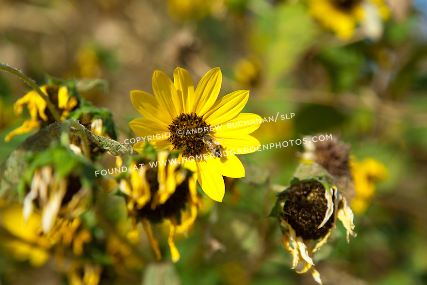 A bee collects nectar from a bright yellow flower on an autumn afternoon in the Southwest.