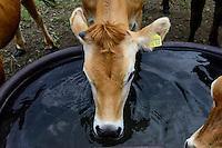 DEUTSCHLAND, , Versuchsgut Lindhof der UNI Kiel, Forschungsschwerpunkt ökologischer Landbau und extensive Landnutzungssysteme, Erforschung optimale Weidehaltung von Milchkuehen, z.Z. Versuch mit Jersey Kuehen