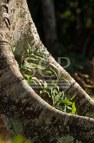 Parana, Brazil. Mata Atlantica forest tree roots embrace seedling green shoots.