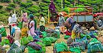 Tea production, Kerala, India
