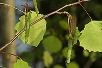 Pappelblattroller, Pappel-Blattroller, eingerollte Blätter von Pappel, Zitterpappel, Pappelblatt-Roller, Byctiscus populi, Bytiscus populi, leaf-rolling weevil, le cigarier du peuplier, Blattroller, Attelabidae
