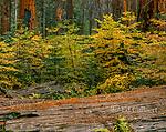 Dogwood, Sequoias, Giant Forest, Sequoia National Park, California