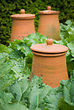 Rhubarb with traditional terracotta forcing pot, mid June.