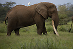 Kenya, Chyulu Hills National Park, African elephant (Loxodonta africana) . Tolstoy is the largest tusker left in Africa. His tusks grew so long that they had to be shortened.