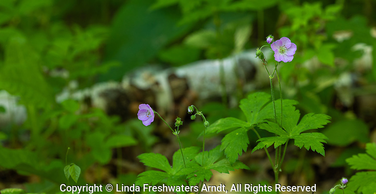 Wild geranium growing in a northern Wisconsin woodland.